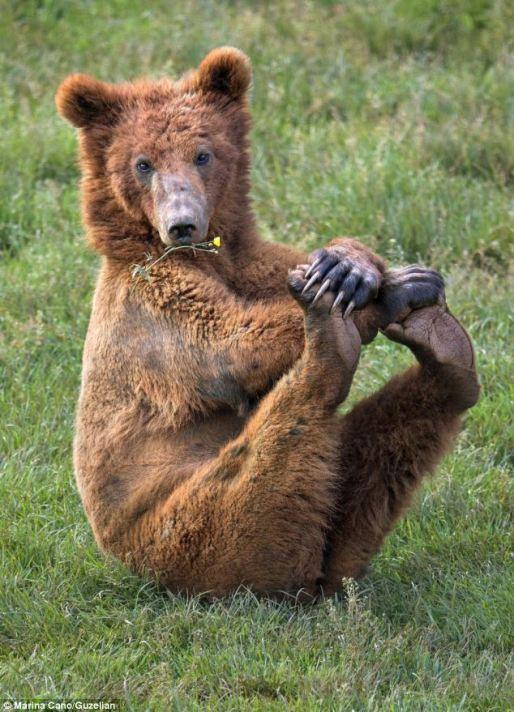 bear_yoga